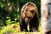 Brown Bear Walking In Forest