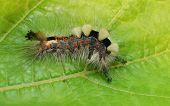 A Vapourer moth caterpillar