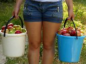 girl carrying two buckets of freshly harvested apples