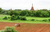 A farmer and his buffaloes plough fields in Bagan, Myanmar