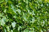 closeup background of grapes in Tuscany, Italy
