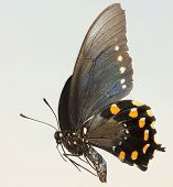 A Close Up Of A Swallowtail Butterfly
