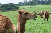 picture of humping  - Camels are even - JPG
