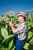 farmer tobacco