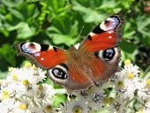 The butterfly peacock (Inachis io), Nymphalidae
