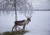 Polar reindeer