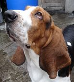 Basset dog close up