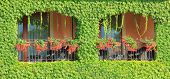 Balcony Overgrown With Ivy Leaves And Two Windows With Flowers