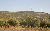 Olive Tree Farm With Wind Turbine Background