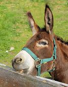 Brown Donkey, Nibbling On The Fence