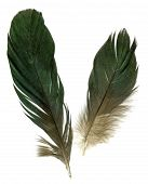 Two Raven Feathers