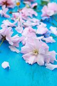 Pink Japanese Cherry Flowers On Retro Blue Wooden Background