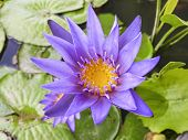 Water Purple Lily