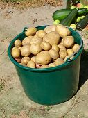 Potatoes In Plastic Green Bucket.