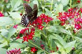Black Butterfly In Field Of Red Flowers