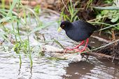 Small Black Crake Eating Fish In Shallow Running Water