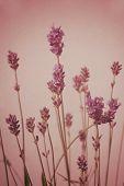 Lavender Blossom Vintage Style Background