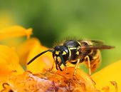 Wasp In Colorful Summer Flower