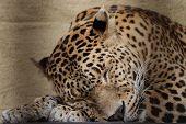 sleeping Ceylon leopard ( Panthera pardus kotiya )