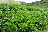 Tea Leaves On Tea Plantation
