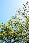foto of dogwood  - Branches of dogwood (Cornus florida) and blue sky