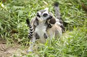 Ring-tailed Lemur With Babies On Back