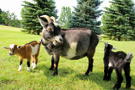 picture of baby goat  - Two baby goats and their mother on a farm are outside grazing and eating grass - JPG