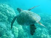 image of under sea  - sea turtle in hawaii