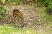 Young Male Black-tailed Deer