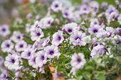 Purple And White Petunia Flowers