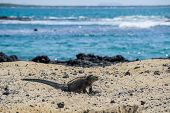 Iguana in the Galapagos