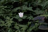 Wild White Tulip In The Forest