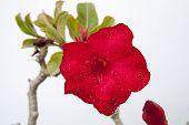 picture of desert-rose  - Impala lily or desert rose in the garden - JPG