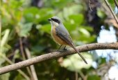 Gray-backed Shrike (lunius Tephronotus)
