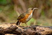 picture of babbler  - beautiful Rusty - JPG