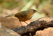 stock photo of babbler  - beatiful Rusty - JPG