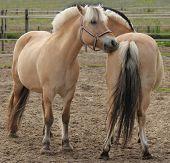 Fjorden pony's