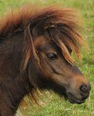 Little shetland pony