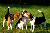 image of dog park  - Happy beagle dogs plays in a park - JPG