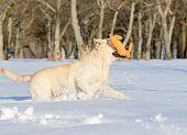 Yellow Labrador In Winter Running With A Toy