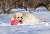 Yellow Labrador In Winter In Snow With A Pink Toy