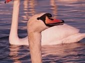 picture of black swan  - swan face at close range - JPG