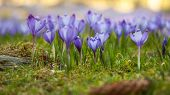 Purple crocus field. Blue crocuses