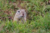Prairie Dog (cynomys Ludovicianus)