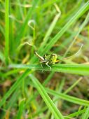 Green Grasshopper On The Green Blade