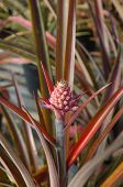 foto of bromeliad  - the Plant Bromeliad Latin name Aechmea fasciata  - JPG