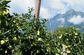 picture of south tyrol  - green apples before the mountain Mutspitz in the Texel Group in South Tyrol - JPG