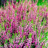 Beautiful Blooming Heather