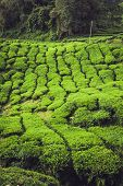 pic of cameron highland  - Green tea plantation Cameron highlands Malaysia Asia - JPG