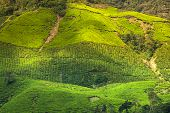 foto of cameron highland  - Landscape view of Tea Plantation in Cameron Highland - JPG